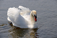 Swans on the boating lake - Thorpeness - Suffolk - England