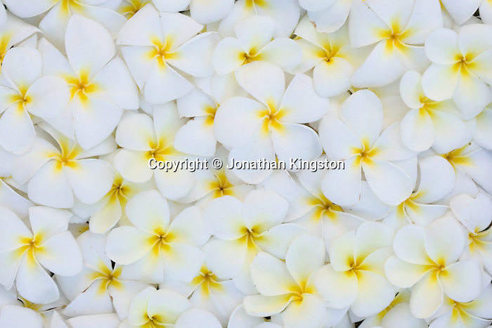 MOLOKAI, HI - Arrangement of Plumeria (common name Frangipani) flowers on Molokai, Hawaii. (Photo by Jonathan Kingston/Aurora)