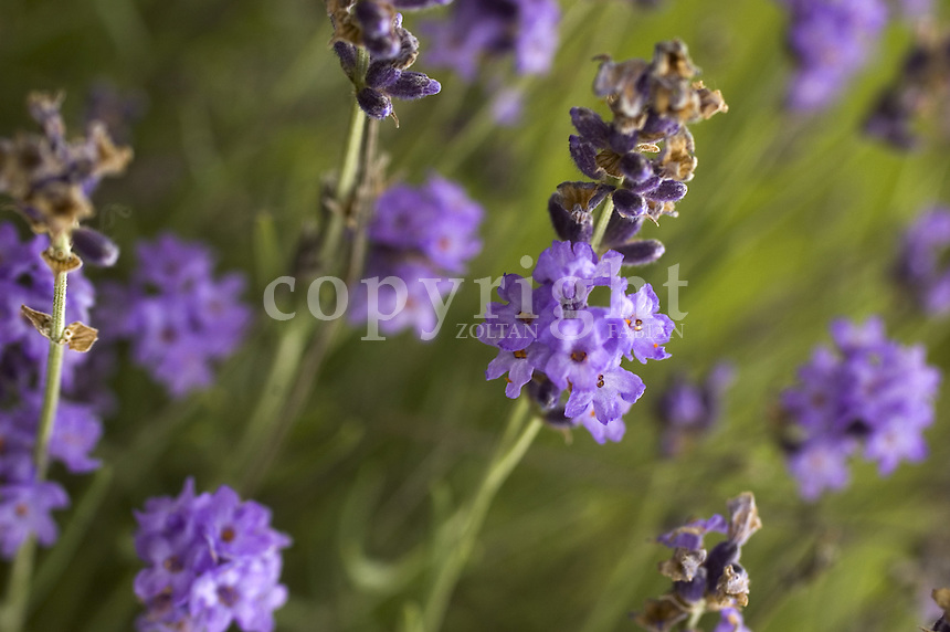 Close up of lavenders