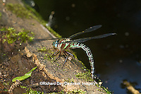 06370-00214 Swamp Darner (Epiaeschna heros) female ovipositing laying eggs on log in water, Marion Co., IL