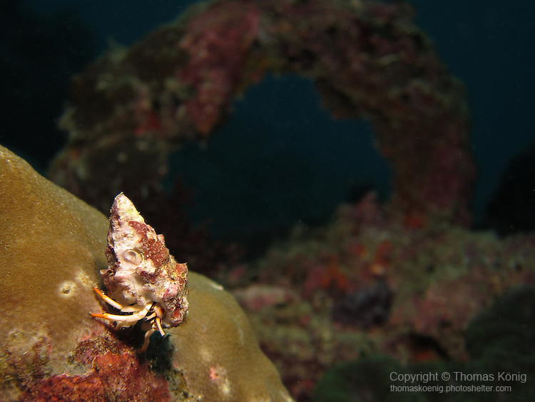 Kenting, Taiwan -- Solitary hermit crab crawling over a coral head.