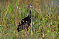 Glossy Ibis, Plegadis falcinellus, adult winter plumage, Everglades National Park, Florida, USA