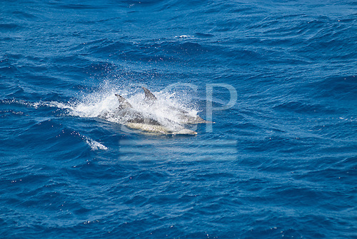 Australia. Two dolphins swimming in the sea off Sydney.