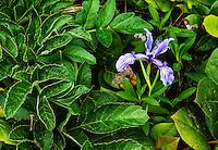Oregon Iris, Oregon