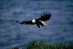 An adult eagle flying along the cliffs near its nest, Unalaska Island, Alaska