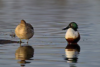 578380009 a wild male or drake and a female northern shoveler anas clypeata in a pond at colusa national wildlife refuge califonia