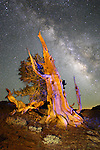 An ancient bristlecone pine and the summertime  Milky Way at the Ancient Bristlecone Pine National Forest, near Bishop, California