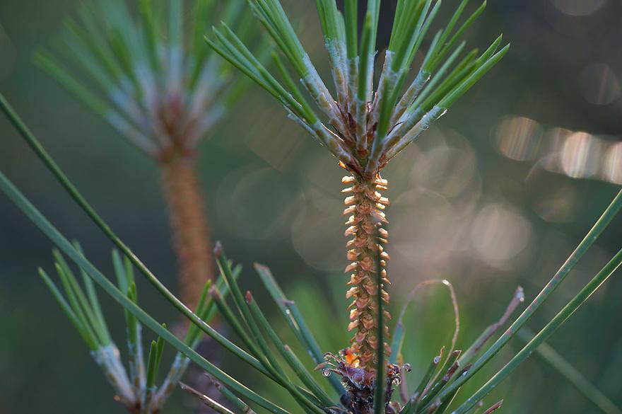 Shoots of Pine (Pinus sylvestris), San Marino.