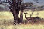 Haze from hot earth rises around Gerenuk in Samburu National Game Reserve, Kenya