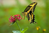 Giant swallowtail butterfly feeding on nectar from red penta flowers in Southern Georgia.