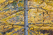 Tamarack Larch - (Larix laricina) forest during the autumn months along the Kancamagus Highway in the White Mountains, New Hampshire USA
