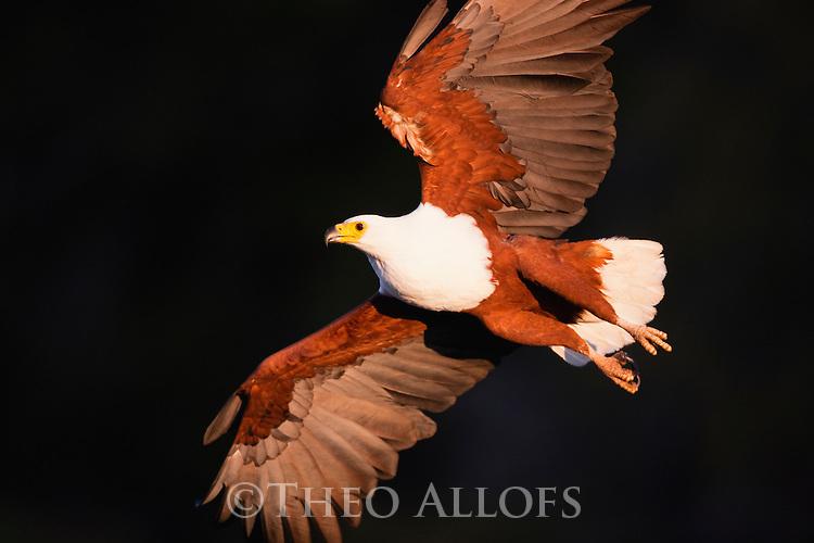 Botswana, Okavango Delta, African fish eagle in flight (Haliaeetus vocifer)
