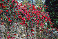 Rose, Rosa 'Paul's Scarlet Climber' (large climber) on stone garden wall at Empire State Mine Park, California.