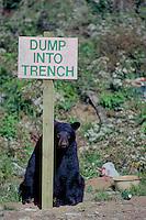Zwarte beer (Ursus americanus) op vuilnisbelt