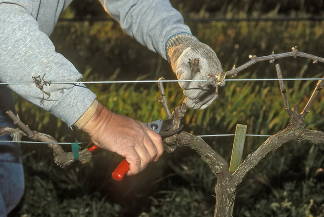 Vines pruned in winter to get ready for next year's grapes