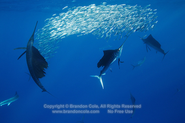 qh0844-D. Atlantic Sailfish (Istiophorus albicans) feeding on sardines. Some consider this the same species as the Indo-Pacific Sailfish (I. platypterus). Mexico, Gulf of Mexico..Photo Copyright © Brandon Cole. All rights reserved worldwide.  www.brandoncole.com..This photo is NOT free. It is NOT in the public domain. This photo is a Copyrighted Work, registered with the US Copyright Office. .Rights to reproduction of photograph granted only upon payment in full of agreed upon licensing fee. Any use of this photo prior to such payment is an infringement of copyright and punishable by fines up to  $150,000 USD...Brandon Cole.MARINE PHOTOGRAPHY.http://www.brandoncole.com.email: brandoncole@msn.com.4917 N. Boeing Rd..Spokane Valley, WA  99206  USA.tel: 509-535-3489