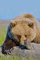 An Alaskan Coastal Brown Bear looks both cunning and cuddly as it eyes the photographer while displaying it claws, Lake Clark National Park, Alaska.