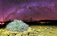 The Milky Way galaxy fills the night sky over a silversword plant on Mauna Kea, Big Island of Hawai'i.