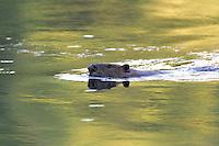 Swimming Beaver  #W18
