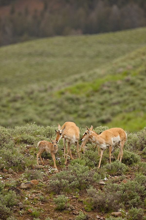 A family of pronghorn antelope and their young graze along a grassy hillside.
