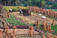 Farmers processing rice on the field