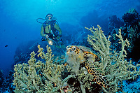 scuba diver observes a hawksbill turtle, Eretmochelys imbricata, feeding on soft corals, Egypt, Zabargad, Zabarghad, Red Sea, Northern Africa