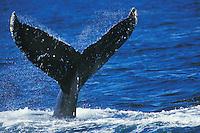 Humpback Whale (Megatera novaeangliae) fluke.  Southeast Alaska.  Summer.