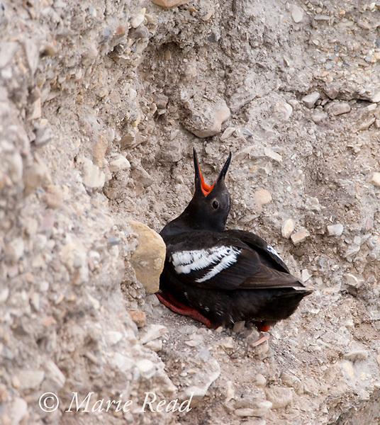 Pigeon Guillemot (Cepphus columba), calling, perched on cliff face, Montana De Oro State Park, California, USA