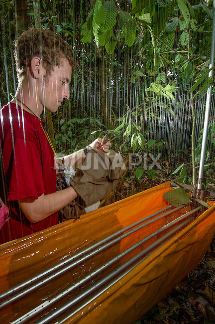 Bat researcher Matt Struebig examines a Rhinolophus creaghi specimen caught in a harp trap. Using highly effective and low-impact harp traps, Struebig has captured many bat species previously unknown from Borneo.