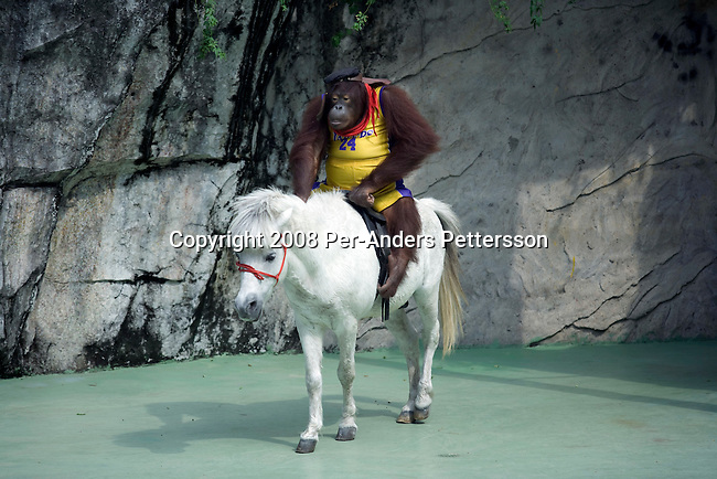 GUANGZHOU, CHINA OCTOBER 3: A monkey rides on a white horse during an animal show at Chimelong Paradise Theme Park on October 3, 2008 outside Guangzhou, China. Millions of Chinese took a weeklong break during the National Holiday and one of the Golden weeks during the year. Chimelong is one of the best and most popular amusement parks in China with attractions such as a driving safari, animal shows and the biggest rollercoaster in the world with 10 loops. Chinese people love theme parks and new ones are opening constantly. It's estimated that there's about 2400 theme parks in the country. (Photo by Per-Anders Pettersson) ..