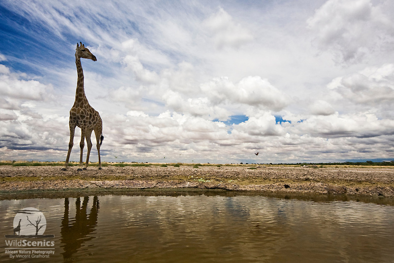 Giraffe at waterhole in kalahari landscape.<br />