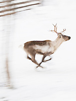 Reindeer running through Lemmenjoki National Park, Lapland, Finland.
