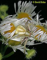 0903-06pp  Crab spider - Thomisidae Genus - © David Kuhn/Dwight Kuhn Photography