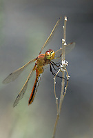362700040 a wild male band-winged meadowhawk sympetrum semicintum perches on a flowering plant in mono county california