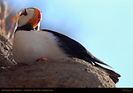 Puffin Portrait, Horned Puffin, Duck Island, Puffin Island, Tuxedni Bay, Cook Inlet, Alaska