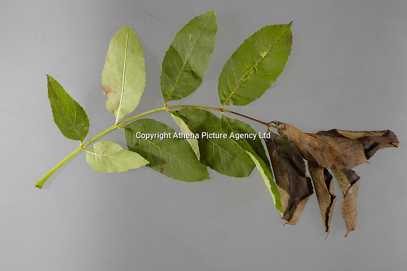 "Pictured: Symptoms of Chalara ash dieback. A fungal disease affecting the ash trees of Europe. Picture shows wilting of leaves caused by necrosis of the rachis.<br /> Re: Millions of diseased trees near buildings, roads and railways will have to be cut down because of a deadly fungus which is spreading through the ash trees  in the UK, a lot quicker than anticipated.<br /> Natural Resources Wales (NRW) warned of a ""very significant impact"" on the landscape and the Welsh government is setting up an expert group to advise on the issue.<br /> Wales has been particularly affected by the spread of ash dieback, which was first identified in the UK in 2012<br /> Its proper name is Chalara dieback, named after a fungus called Chalara fraxinea<br /> Symptoms include lesions at the base of dead side shoots, wilting and lost leaves and a killing off of new growth on mature trees<br /> The disease is spread by released spores and has swept across Europe over the past 20 years, affecting about 70% of ash in woodland<br /> Ash is an important species for nesting birds, insects and fungus<br /> It does not pose a risk to human or animal health"