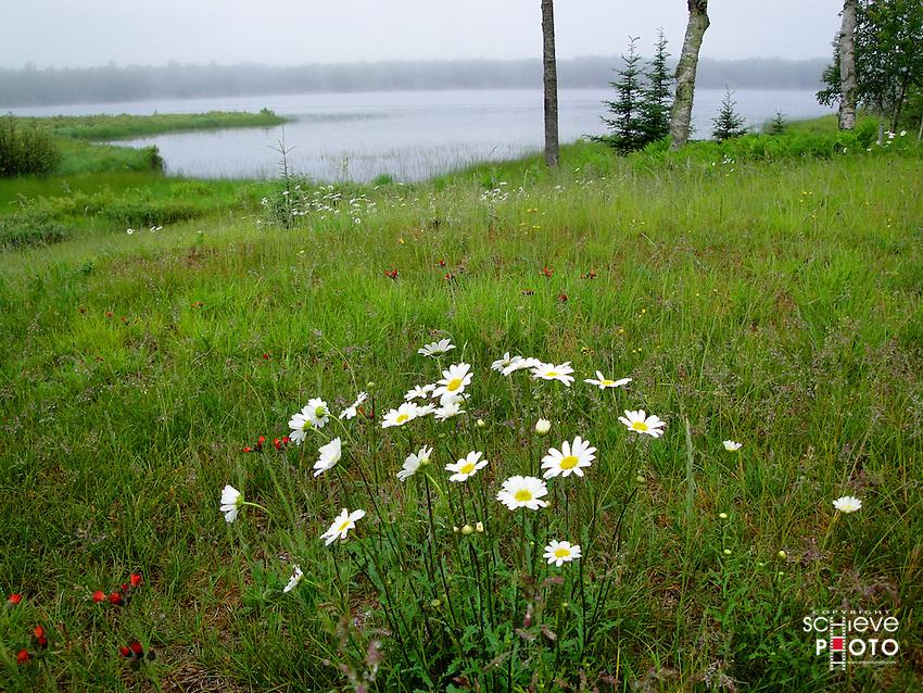 Wild Daisies in the northwoods of Wisconsin.
