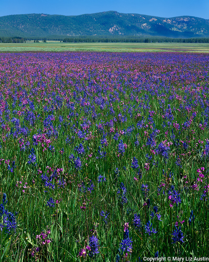 Sawtooth National Forest, ID:  Valley Creek Meadow wtih blooming Shooting Stars and Common Camas in the Sawtooth National Recreation Area