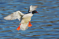 Common Merganser (Mergus merganser), male landing, Argau, Switzerland