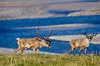 Barren Ground Caribou (Porcupine herd) along Aichilik River, Arctic NWR, Alaska Summer.