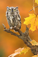 An eastern screech owl perched on a snag.
