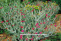 63821-05803 Rose Campion (Lychnis coronaria) & Rue (Ruta graveolens) Marion Co.  IL