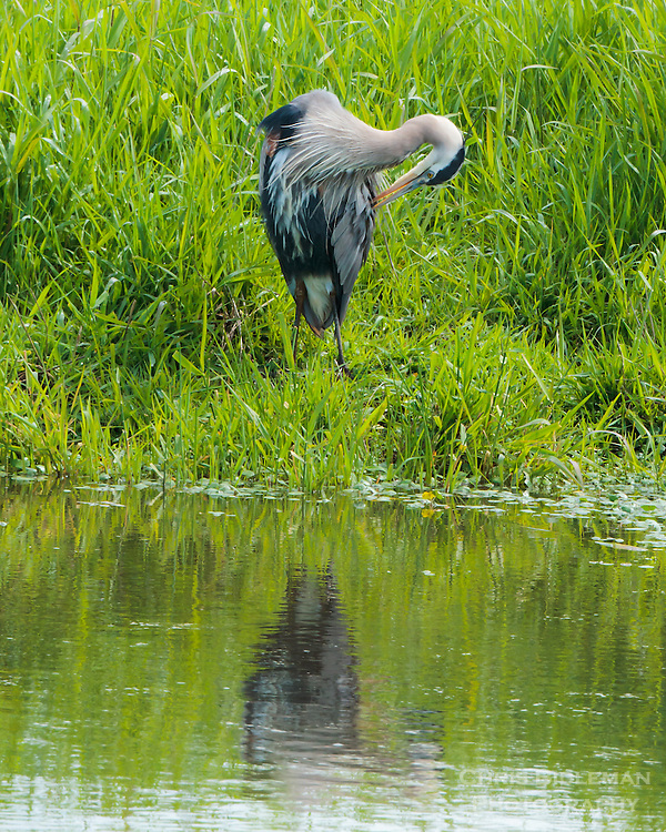 Great Blue Heron is preening next to pond with reflection in Ridgefield National Wildlife Refuge