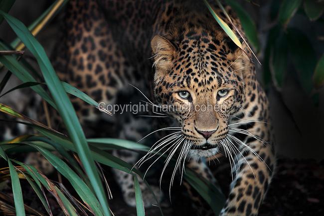 Panthère de Chine du nord, Panthera Pardus Japonensus
