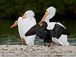 Adult male and female white pelicans with double crested cormorant on sand bar in Little Sarasota Bay, Sarasota,  Florida.