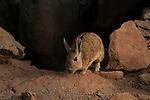 Southern Viscacha (Lagidium viscacia), Abra Granada, Andes, northwestern Argentina