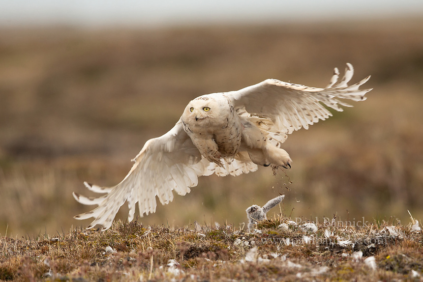 A female Snowy Owl quickly leaves her nest to hunt, disrupting the youngers sleeping beneath her in the nest.