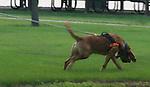 130 bloodhound
