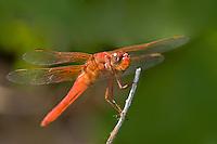 389140003 Neon Skimmer Libellula croceipennis WILD_DLW1394.Male.Breckenridge Park, San Antonio, Texas