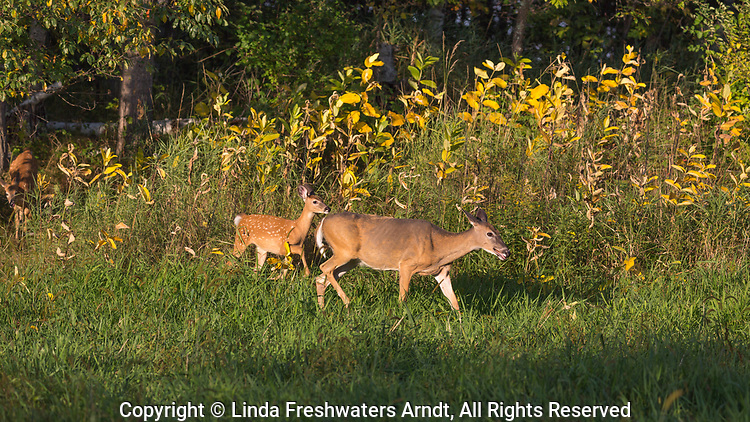 White-tailed doe and fawn walking in an autumn field.